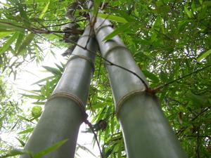bambou_300