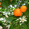 mandarine - 100x100